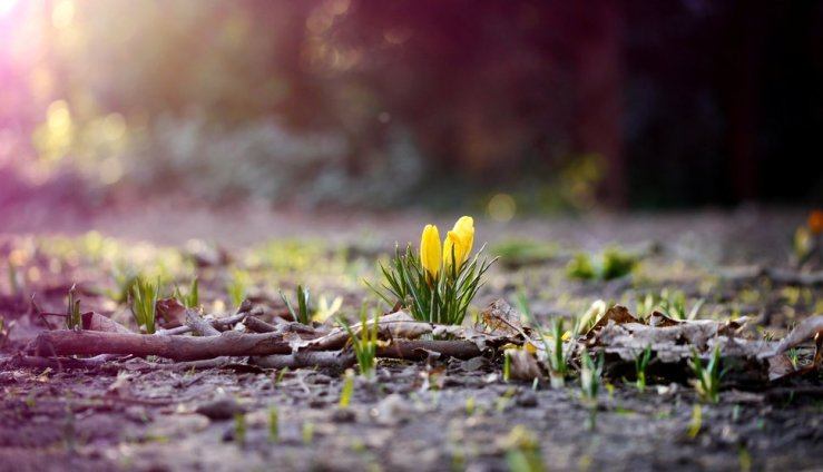210783__nature-earth-grass-leaves-leaves-twigs-flowers-flower-crocus-yellow-spring_p